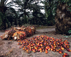 Palm Oil - Prices and Trading, Production Process and