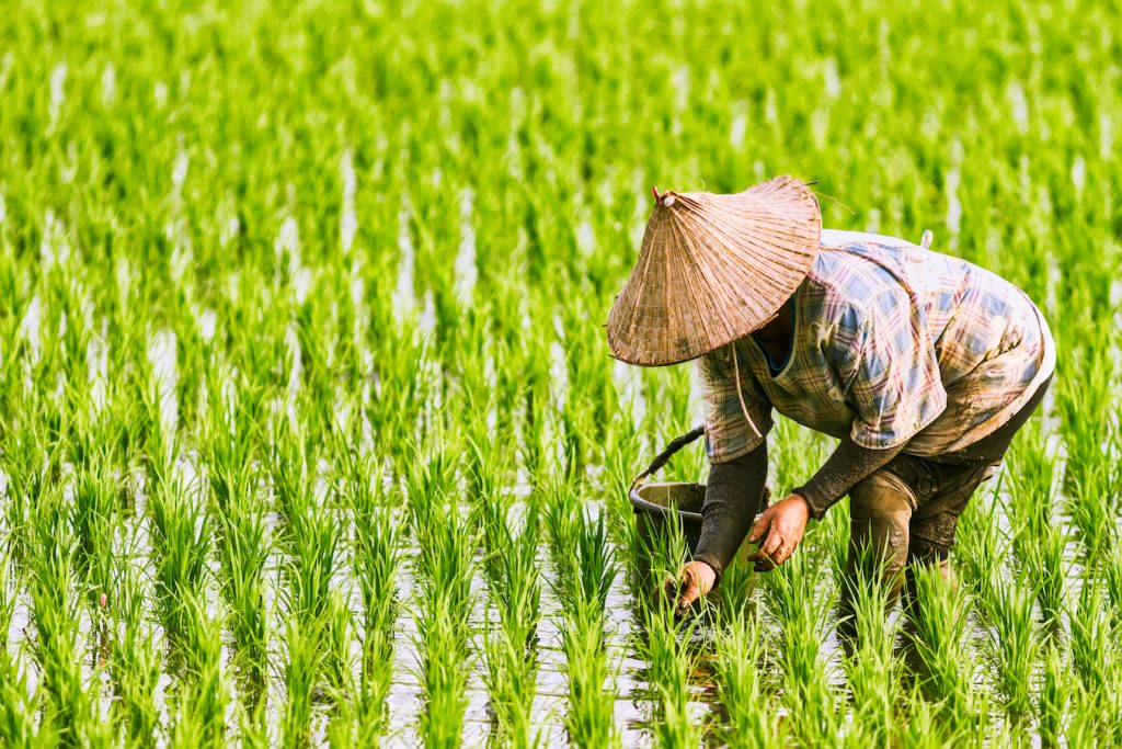 woman-in-ricefield-ctrm