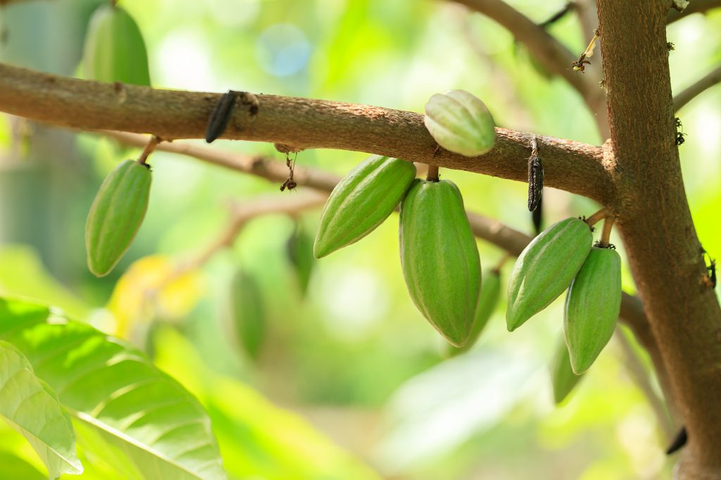 Cocoa tree whit hanging cocoa fruit greet