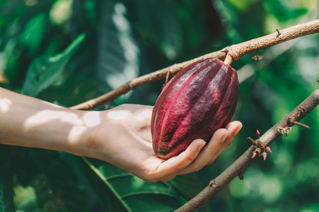treegether cocoa tree cocoa bean hand hold cocoabean