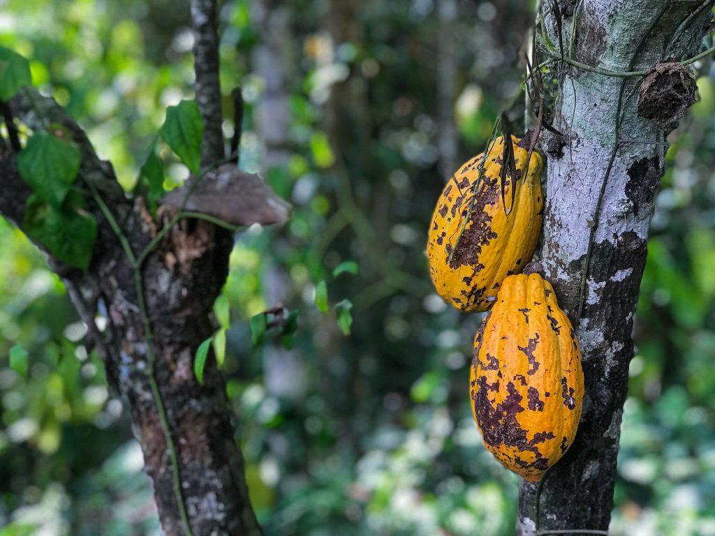 cocoa-pods