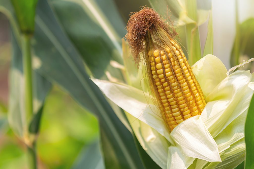 Corn is the most-produced grain worldwide.
