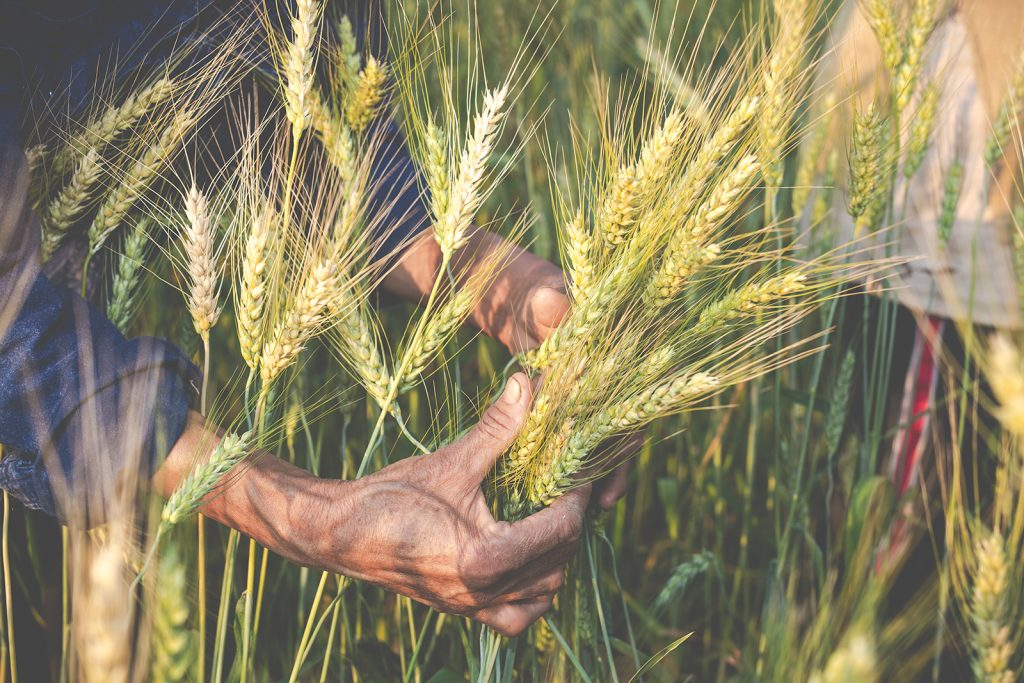 Grains farming