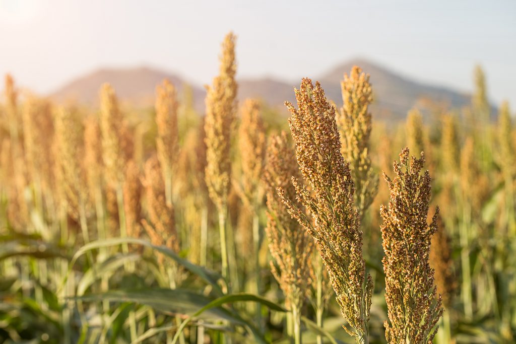 Sorghum is a very diverse grain indeed